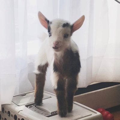 Cow the Goat